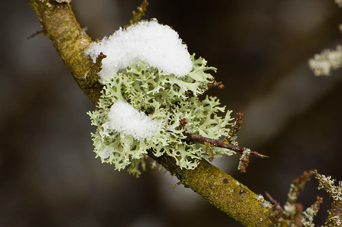 Snowy lichens on a sloe bush
