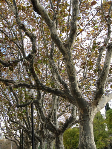 Plane trees per Leonora (Ellie) Enking a Flickr