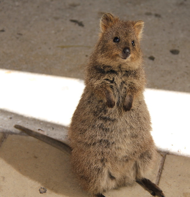 quokka smiling - photo #14