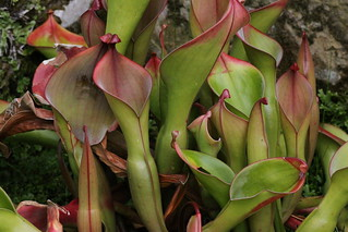 Heliamphora nutans (a pitcher plant from Venezuela) at Kew Gardens