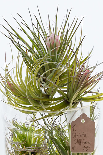 Pistils Nursery Air Plants