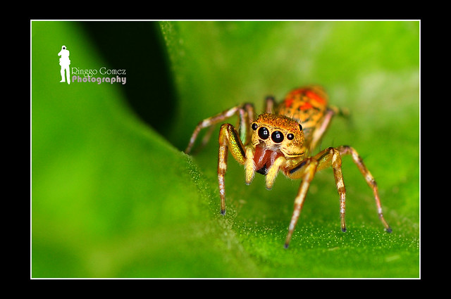 Orange Jumping Spider - Borneo [Explored]