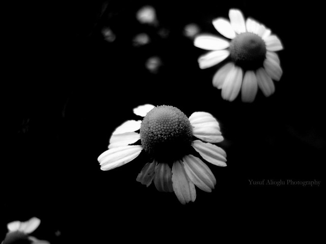 The Last Flowers of The Garden of Darkness ©