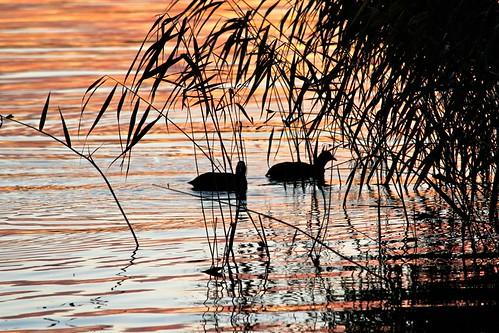 sunset bird water birds silhouette reeds wildlife vatten arvika vass glafsfjorden siluett värmland solnedgång fåglar fågel