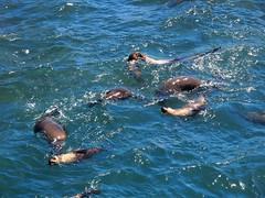 Seals at The Nobbies Phillip Island (Australia 2010)