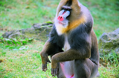 western gorilla(0.0), outdoor recreation(0.0), macaque(0.0), animal(1.0), monkey(1.0), mammal(1.0), fauna(1.0), drill(1.0), mandrill(1.0), old world monkey(1.0), new world monkey(1.0), wildlife(1.0),
