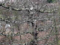 Espaliered fruit trees in winter