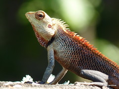 african chameleon(0.0), lacertidae(0.0), agama(1.0), animal(1.0), reptile(1.0), lizard(1.0), fauna(1.0), dactyloidae(1.0), scaled reptile(1.0), chameleon(1.0), wildlife(1.0),
