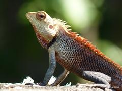 african chameleon(0.0), lacertidae(0.0), agama(1.0), animal(1.0), reptile(1.0), lizard(1.0), fauna(1.0), dactyloidae(1.0), scaled reptile(1.0), chameleon(1.0), wildlife(1.0),