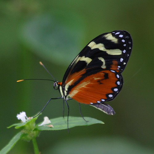 Polymnia Tigerwing (Mechanitis polymnia isthmia)