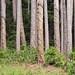 Pinus nigra subsp. nigra (47°42' N 15°56' E) by HermannFalkner/sokol