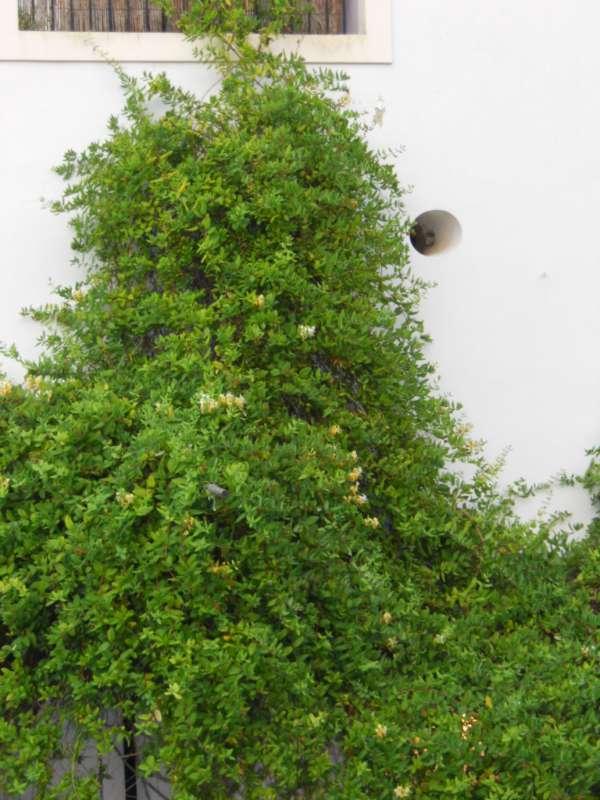 Lonicera caprifolium v 1