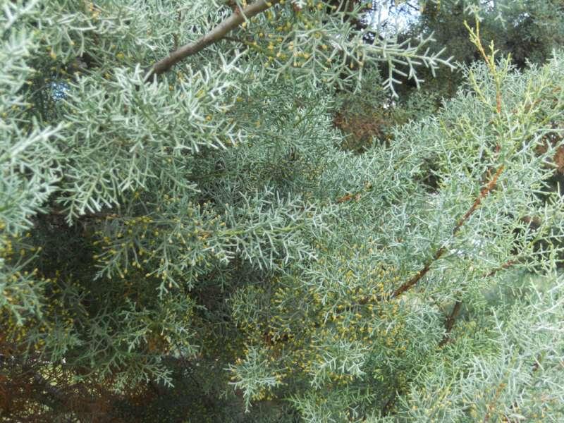 Cupressus arizonica 5