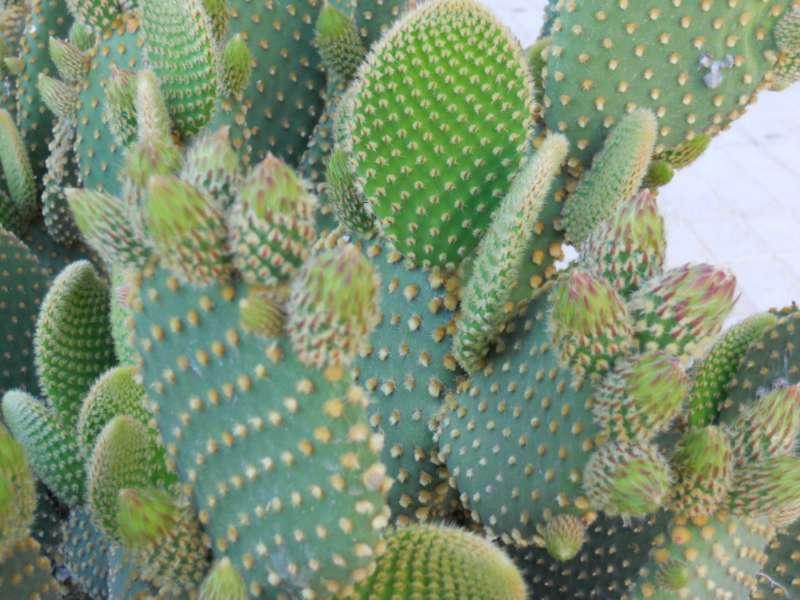 Opuntia microdasys 'Rufida' 3
