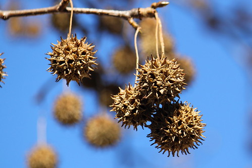 Sweetgum Balls Still on Tree