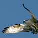 Osprey Hovering by U. S. Fish and Wildlife Service - Northeast Region