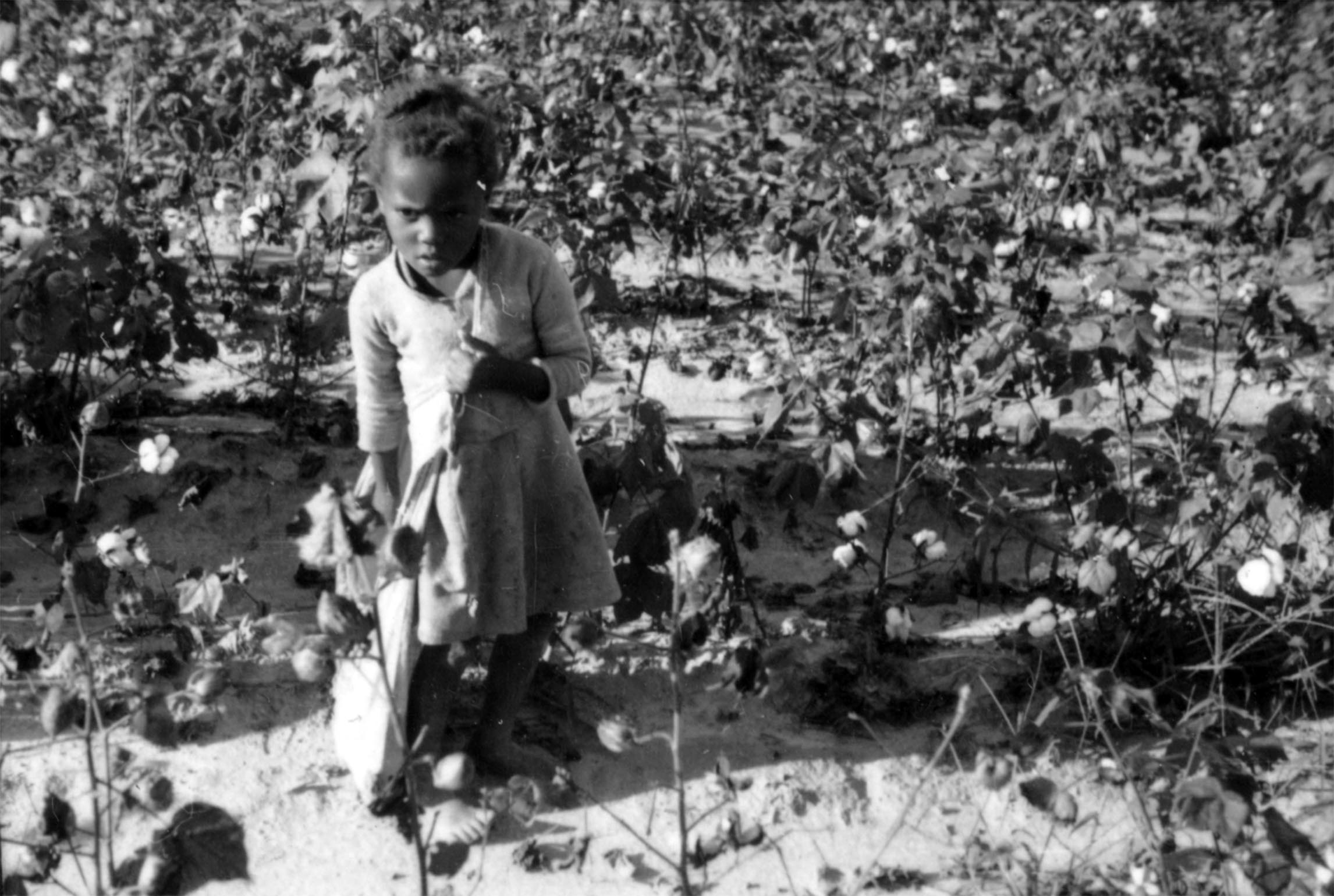 Girl Puts Picked Cotton