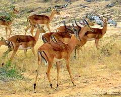 South Africa. Safari 1