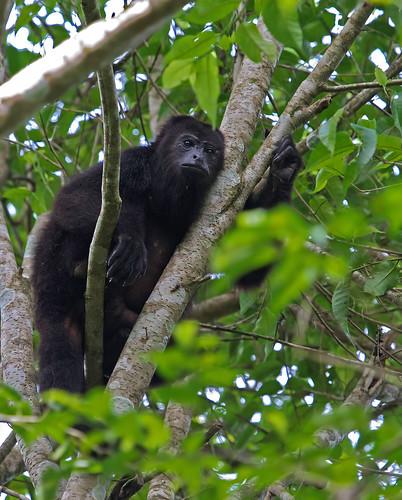 Black Howler Monkey - Svart vrålapa
