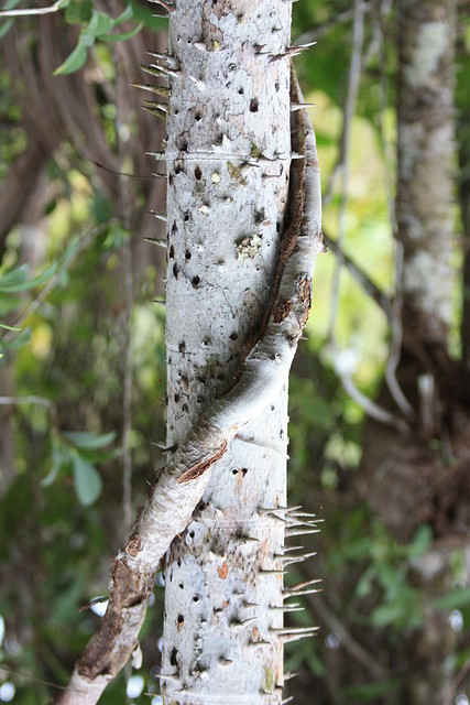 Tree trunk with big thorns flickr photo sharing