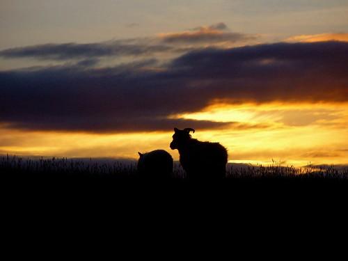 geotagged iceland sheep ísland kindur kirkjubæjarklaustur sauðfé geo:lat=6379496205110096 geo:lon=1805568474078369 kvennaklif
