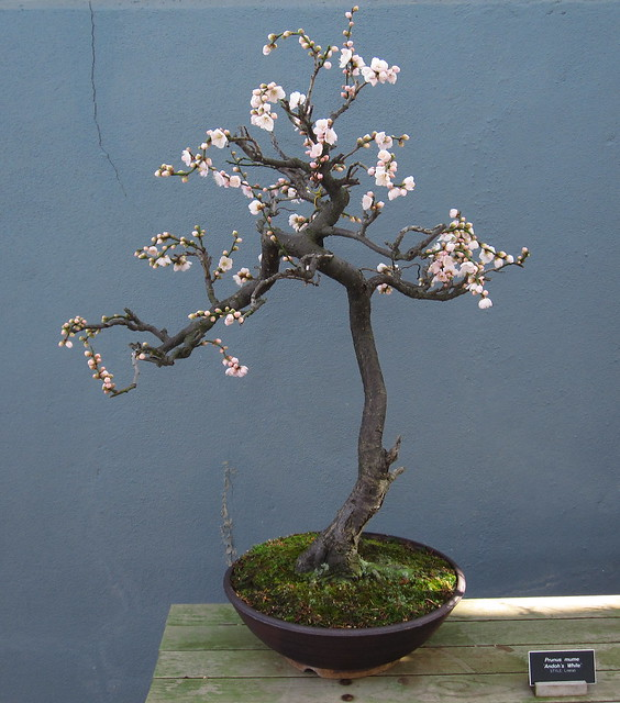 Prunus mume 'Andoh's White' in literati style in the C.V. Starr Bonsai Museum. Photo by Rebecca Bullene.