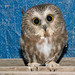 Saw-Whet owl by our viewfinder