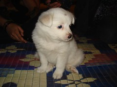 dog breed, animal, dog, pet, carnivoran, great pyrenees, samoyed,
