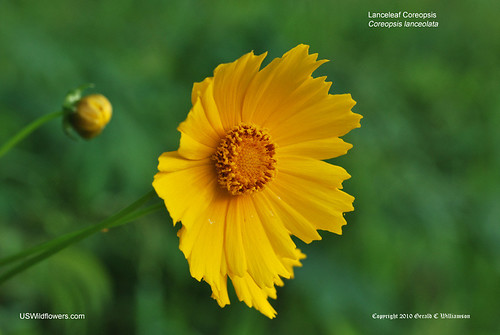 Lanceleaf Coreopsis - Coreopsis lanceolata