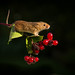 Harvest Mouse on Honeysuckle by Paul Tymon