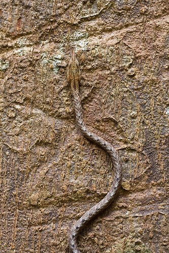 keel-bellied whip snake (Dryophiops rubescens)