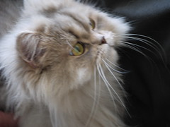 domestic long-haired cat, nose, animal, persian, small to medium-sized cats, pet, snout, close-up, cat, carnivoran, whiskers, norwegian forest cat,