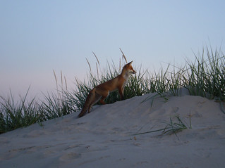 2009 Fox in Pärnu beach