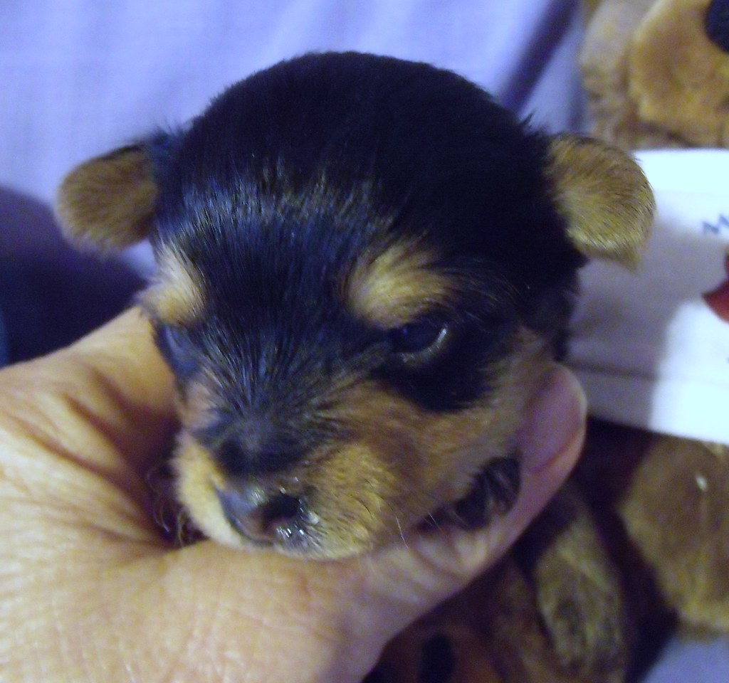Tiny Yorkie Puppies For