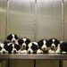 Border Collie Puppies by AndyMathis