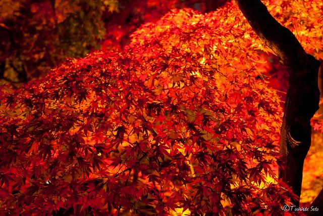 京都永観堂の紅葉ライトアップ Light up at Eikando in Kyoto