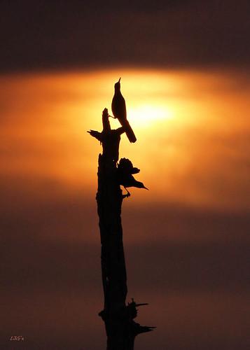 sunset bird florida boattailedgrackle behavior courtship birdbehavior
