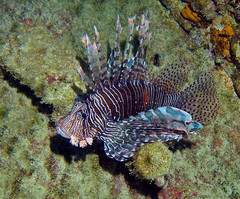 invertebrate(0.0), coral reef(1.0), animal(1.0), fish(1.0), marine biology(1.0), fauna(1.0), lionfish(1.0), scorpionfish(1.0), underwater(1.0), reef(1.0),