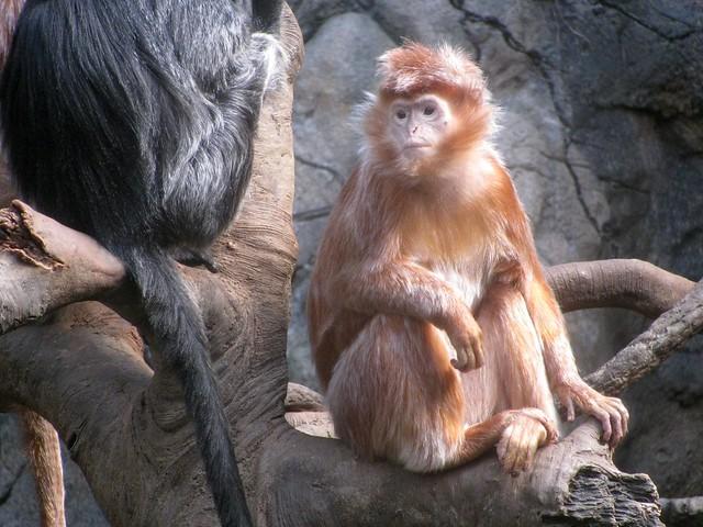 Javan Langur