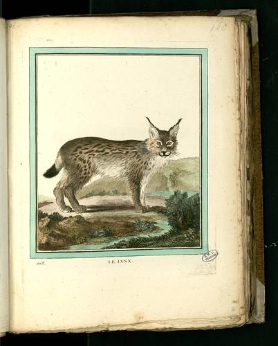Lynx by peacay