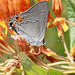 Strymon melinus - Gray Hairstreak