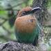 Broad-billed Motmot (Lelis Navarette)