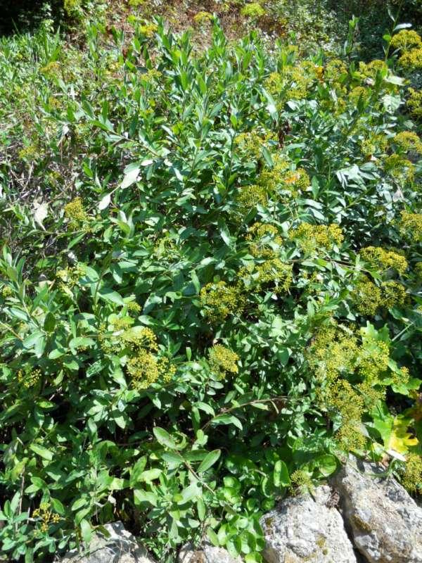 Bupleurum fruticosum v 2
