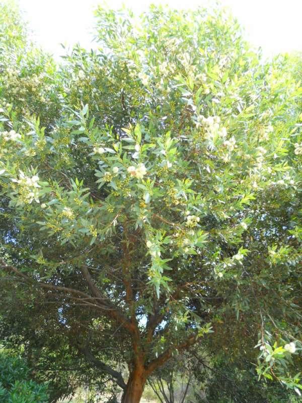 Eucalyptus platypus v 1
