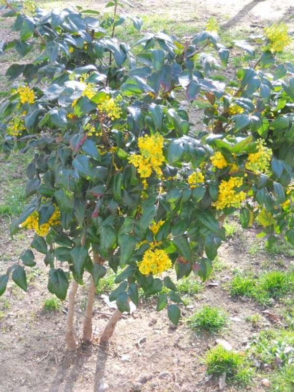 Mahonia aquiofolia v 3