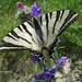 Scarce Swallowtail (Paul Harmes)