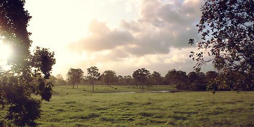 green field grass cow cows gumtree paddock