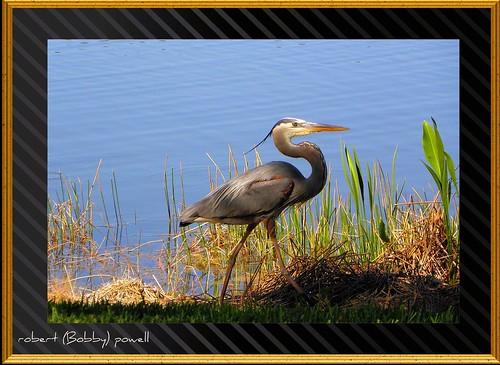 "google wildlife estero greatblueheron leecounty southwestflorida wadingbirds condoview leecountyfl esterofl ""flickraward"" fairwaysandgreens pelicansoundcountryclub robertbobbypowell"