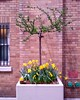 Potted tree with daffodils, 4/18/14