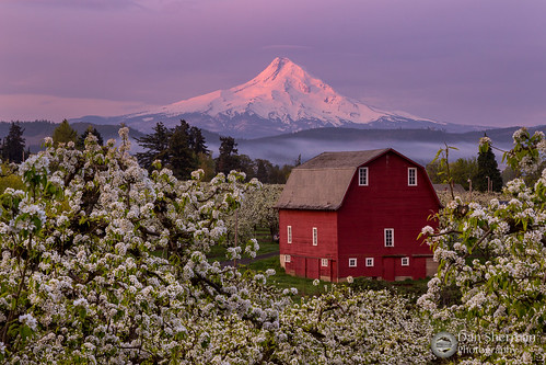 trees light red mountain snow color fog oregon barn sunrise river colorful mt unitedstates pacific northwest snowy blossoms columbia orchard mount valley pear hood gorge hoodriver alpenglow caped